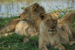 Restful place for lions. Group of lions laying peaceful royalty free stock photo