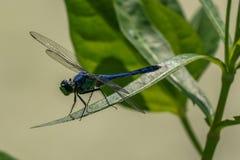 Resti blu e verdi della libellula sul foilage fotografia stock libera da diritti