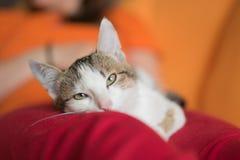 Resti del gattino sui piedi delle donne Fotografia Stock Libera da Diritti