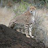 Resti del ghepardo su un formicaio nella S l'africa Fotografia Stock Libera da Diritti