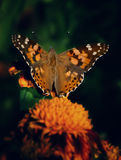 Resti della farfalla su un fiore giallo Immagini Stock Libere da Diritti