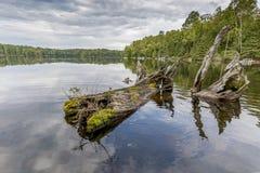 Resti di Cedar Tree Trunk Resting bianco nella baia di uno Shal Fotografia Stock Libera da Diritti