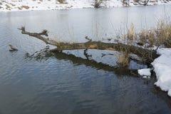 Resti di neve sulla banca di piccolo fiume con i tronchi di vecchi alberi immagini stock