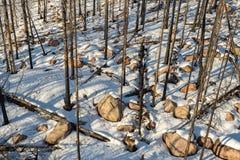 Resti di una foresta dopo un incendio forestale fotografia stock
