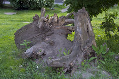 Resti di vecchio albero Immagine Stock Libera da Diritti