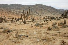 Resti selvaggi della volpe nel deserto di Atacama Fotografia Stock Libera da Diritti