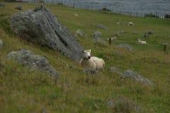 Restig-Schafe stockbilder