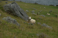 Restig sheep Stock Images
