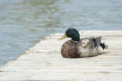 Restin do pato do pato selvagem na doca Foto de Stock