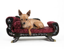 Resting. A tiny chihuahua resting on a sofa Stock Photography