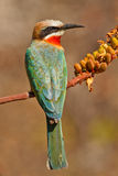 Resting a while. White-fronted Bee-eater perched on a tree, South Africa Royalty Free Stock Image
