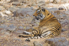 Resting a while. Wild Royal Bengal tiger takes a rest, Ranthambore Nation Park Stock Photo