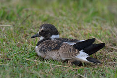 Resting. Blacksmith Lapwing subadult resting in green grass Stock Photography
