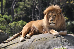 Lion Resting. Adult african lion resting on a large stone Royalty Free Stock Images