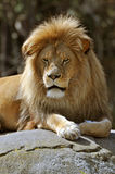 Resting african lion. African lion close-up portrait Royalty Free Stock Image