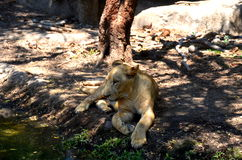 Resting African Lion Cub royalty free stock photo