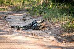 Resting African wild dog in the Kruger National Park, South Afri Stock Photos