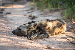 Resting African wild dog in the Kruger National Park, South Afri Royalty Free Stock Image