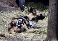 Resting African Wild Dog. This is a Spring picture of a African Wild Dog resting in his compound at the Lincoln Park Zoo located in Chicago, Illinois in Cook Stock Image