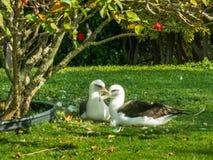 Resting Albatross. Two Layson Albatross Resting On Grass Lawn In Princevill, Kauai, Hawaii Royalty Free Stock Image