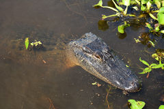 Resting alligator Stock Images