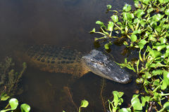 Resting alligator Stock Photo