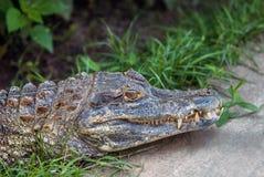 Resting Alligator Stock Photo