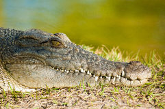 Resting Alligator Stock Photos