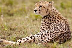 Resting Alone Cheetah. Serengeti, Tanzania Stock Images