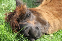 Resting alpaca Royalty Free Stock Images