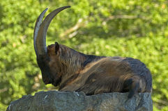 A resting Alpine Ibex Royalty Free Stock Photo