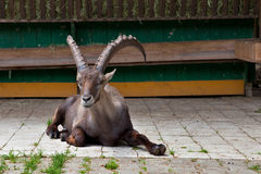 Resting alpine ibex with big horns Royalty Free Stock Photos