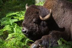 Resting American Bison Royalty Free Stock Photos