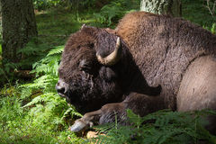 Resting American Bison Royalty Free Stock Photo