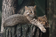 Resting Amur leopard cats. Amur leopard cats (Prionailurus bengalensis euptilura) resting on the tree Royalty Free Stock Images