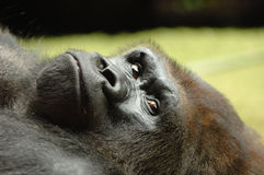 Resting ape. Ape is resting in the grass on a warm summer day royalty free stock image