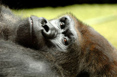 Resting ape. Ape is resting in the grass on a warm summer day royalty free stock images