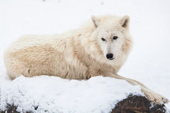 Resting arctic wolf Royalty Free Stock Image