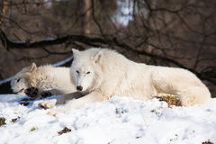 Resting arctic wolves Stock Photography