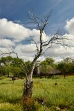 Resting area near Mankwe Lake, Pilansberg Game Reserve. Nice braii area and an old dry tree Royalty Free Stock Photos