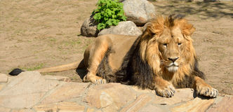 Resting Asiatic lion Stock Image