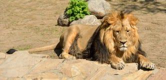 Resting Asiatic lion. (Panthera leo persica Stock Image