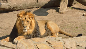 Resting Asiatic lion Stock Images