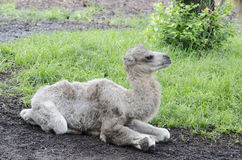 Resting baby camel Stock Photo