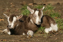 Resting baby goats Royalty Free Stock Photography
