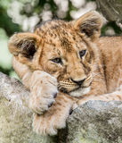 Resting baby lion Stock Photos