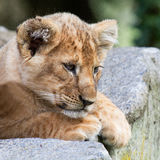 Resting baby lion Stock Photo