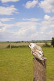 Resting barn owl Stock Images