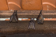 Resting Bat on Roof. Colony of fruit bat resting on a roof Stock Photo