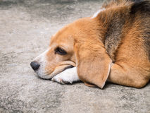 Resting beagle Royalty Free Stock Image